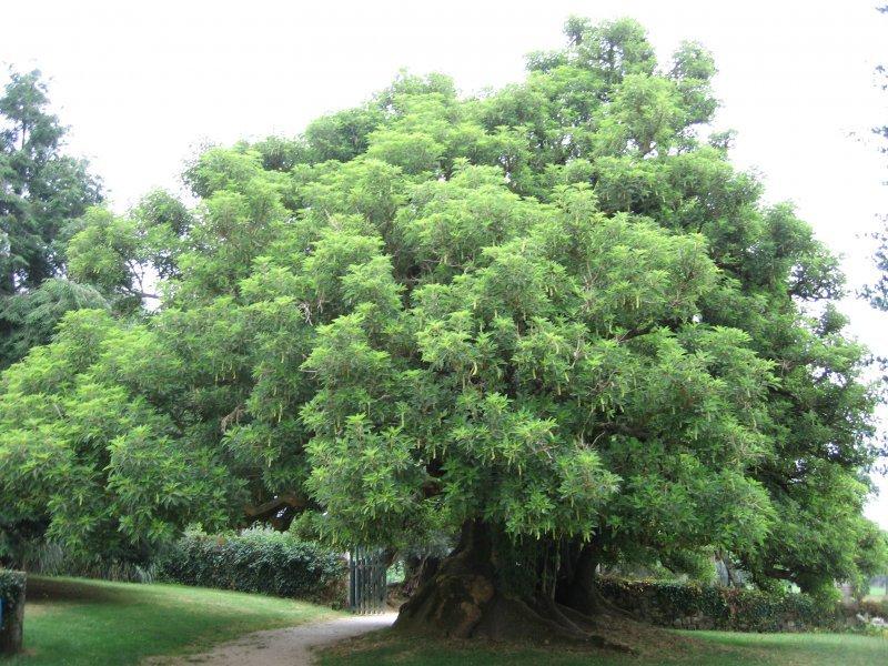 El arbol de la buena sombra rboles patrimonio vivo for Arboles de jardin para sombra