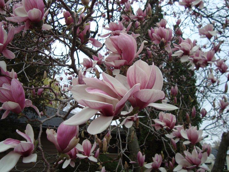 Magnolio magnolia magnolio grandiflora semillas seeds - Semilla de magnolia ...